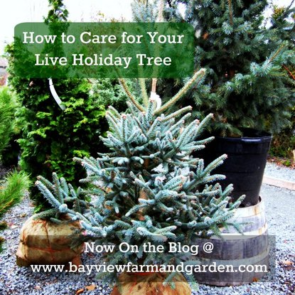 Live Holiday Tree Care
