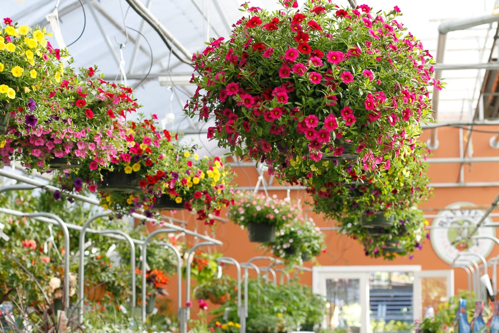 Weu0027re Sure Mom Would Love A Hanging Basket To Adorn Her Patio, Porch Or  Entryway. Our Greenhouse Is Overflowing With A Gorgeous Section Of Big, ...