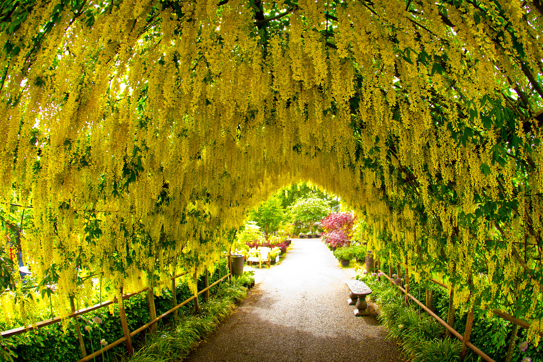 The Laburnum Arbor At Bayview Farm And Garden Bayview